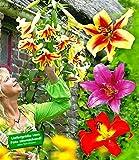 BALDUR-Garten Tree-Lilies®-Kollektion, Baumlilien Mischung, 6 Stück Lilium -