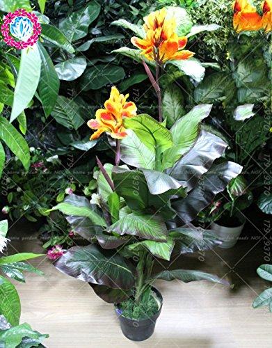 Galleria fotografica varietà 11.11New 5pcs vero% Canna indica bonsai seeds.Perennial tropicale all'aperto Big lascia semi di piante fiore per giardino di casa 2