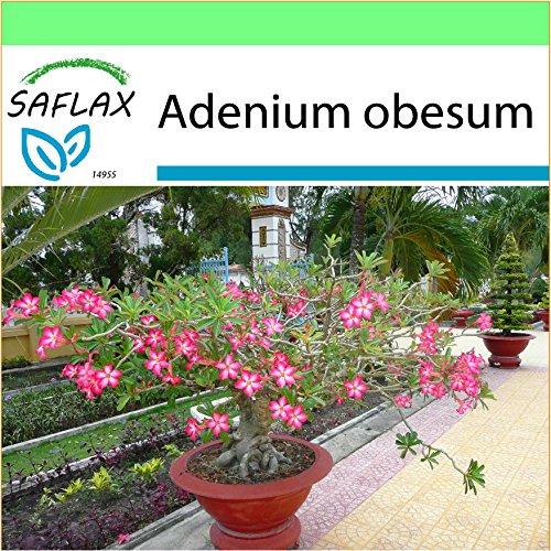 SAFLAX - Jardin dans la boîte - Rose du désert - 8 graines - Adenium obesum