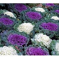 Col ornamental, semillas de col rizada - Brassica oleracea - 200 semillas