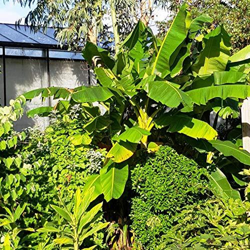 Future Exotics Musa Dajiao Banane Fruchtbanane winterhart 20-30 cm, 2 Stück