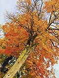Artland Qualitätsbilder I Wandtattoo Wandsticker Wandaufkleber 45 x 60 cm Botanik Bäume Foto Braun B6ZY Herbstbaum
