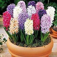 Sunlera 100 piezas/bolso Semillas Semillas del jacinto en maceta de flores para Bonsai casera de las semillas de las plantas de jardín