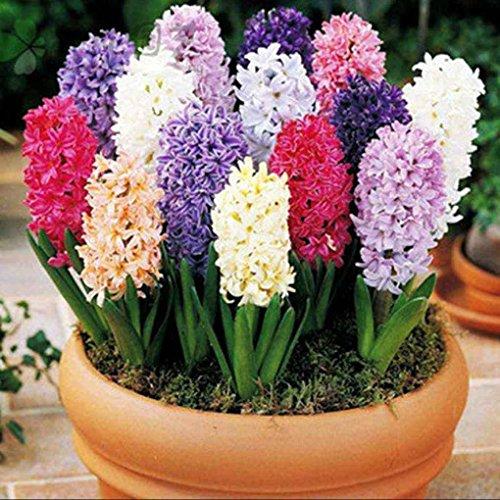 Sunlera 100pcs / bag Giacinto Seeds Seeds in vaso bonsai semi dei fiori per il giardino domestico Pianta