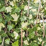 Hedera helix 'Goldheart' - Gelbbunter Efeu Kletterpflanze-150cm Topf gewachsen (60-100cm)