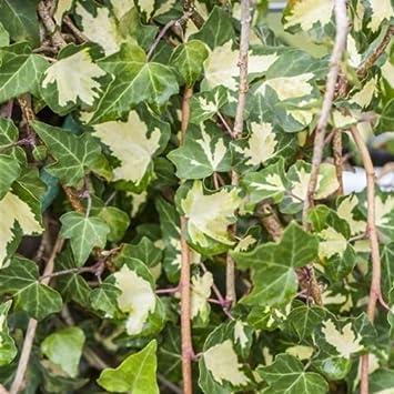 efeu pflege hedera helix goldheart gelbbunter kletterpflanze 150cm topf gewachsen 60 im zimmer