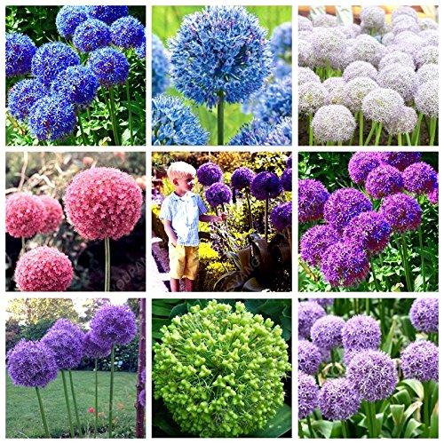 100pcs / sac graines d'oignon exotique géant Allium Graines Multicolor Balcon Fleurs en pot graines bonsaïs jardin potager de plantes