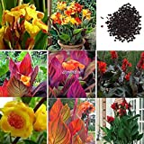 Portal Cool Rose Red: 50 Stücke Canna Samen Mix Farben Bonsai Blume Topf Samen Garten Decor B98B