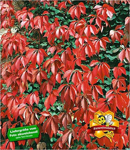 BALDUR-Garten Wilder Wein \'Quinquefolia\', 1 Pflanze schnellwachsende Kletterpflanze winterhart