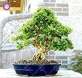 20PCS à feuilles persistantes d'ornement Boxwood Arbuste Bonsai arbres Graines Boxwood Insectifuge Boxtree Jardin des Plantes Absorber Formaldéhyde...
