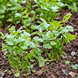 lamta1k 200 Unids Semillas de Alcaravea Orgánica Nutritiva Cilantro Vegetal Home Garden Plant - Semillas de Alcaravea