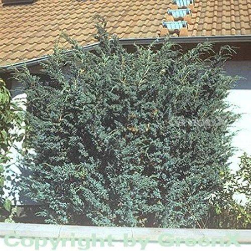 Blauzeder Wacholder 25-30cm – Juniperus squamata