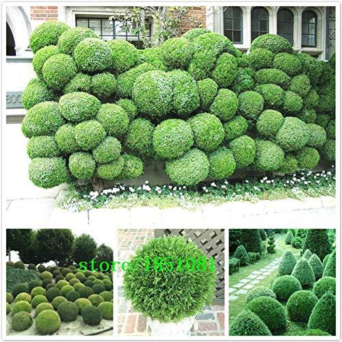 shopmeeko 20 palle di ginepro in vaso fiori purificare l'aria di assorbire gas nocivi, fai da te a casa pianta da giardino, molto facile da coltivare spedizione gratuita: rosso