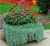 Shopmeeko 2016 100 stücke/Dichondra Repens rasen pflanzen geld gras hängen dekorative gartenpflanzen blume pflanzen für hausgarten verkauf: Lila