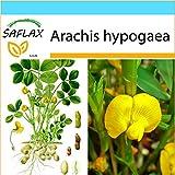 SAFLAX - Set regalo - Cacahuete - 8 semillas - Arachis hypogaea