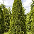 Thuja occidentalis Smaragd 120-140cm Lebensbaum im Topf gewachsen von Pflanzen für Dich auf Du und dein Garten