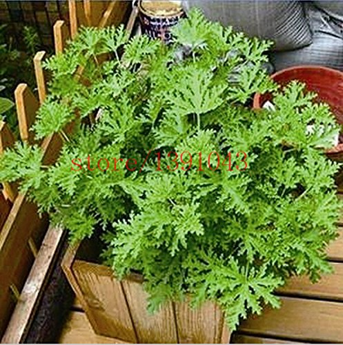 100 pezzi Riddex pianta semi Mosquito repellente antizanzare erba Buster Sweetgrass. Garden & Home Bonsai Plant. Indoor Plant