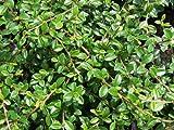Bodendecker Cotoneaster dammeri Streibs Findling/Kriechmispel 24 Stück/9cm-Topf