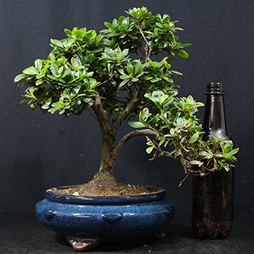 Bonsai Boeking