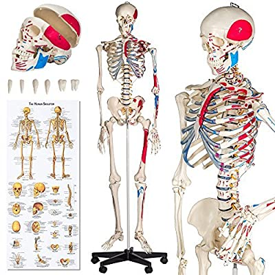 TecTake Squelette taille grandeur nature modèle anatomique du squelette humain 180cm + marquage des muscles + numérotation + protection + affiche explicative de l'anatomie humaine