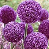 Delaman Riesige Zwiebel Zwiebel Allium Giganteum Blume Pflanzensamen für Garten Dekoration 100pcs