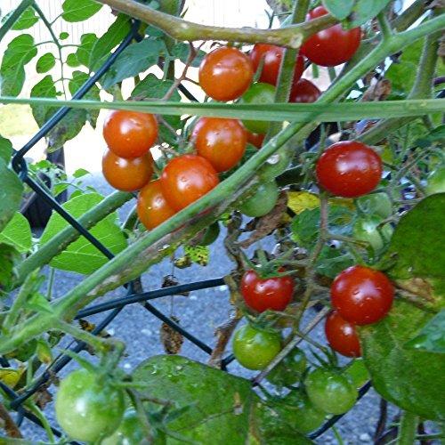 10 Samen Mexikanische Wildtomate – unzählige, aromatische Tomaten