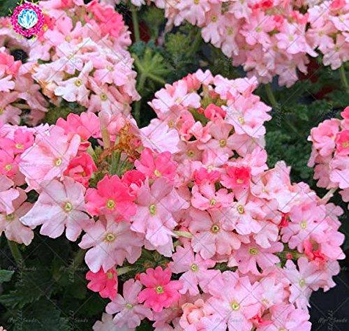 Fleur Verveine Verbena