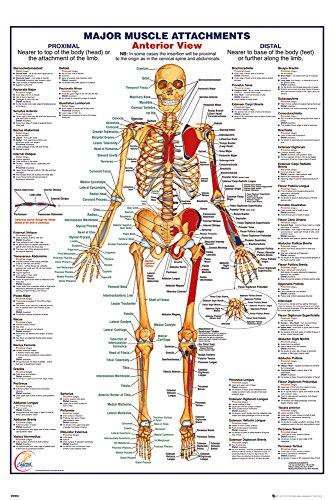GB Eye menschlichen Körper Muskeln Aufsätze Anterior Maxi Poster, Holz, mehrfarbig