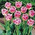 Gefranste Tulpe Fancy Frills von Meingartenshop bei Du und dein Garten