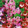 Pack X6 Penstemon 'Mixed Varieties' Perennial Garden Plug Plants
