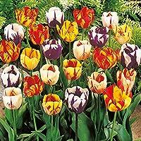 TULIPANI A COLORI ASSORTITI IN MISCUGLIO a fioritura primaverile - ALTA QUALITA' OLANDESE (20, REMBRANDT - Variegati)