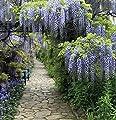 Blauregen Domino 60-80cm - Wisteria floribunda von Baumschule auf Du und dein Garten