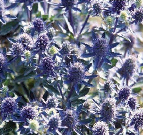 JustSeed Blume Flachblatt-Mannstreu Blau Hobbit 5 Samen