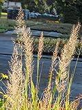 Calamagrostis brachytricha - Diamant-Reitgras, 3 Pflanzen