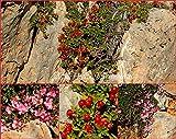 """Portal Cool Seeds - Essbare Hardy Strauch, Bodendecker Dwarf """"Alpine Cherry"""" Prunus Prostrata"""
