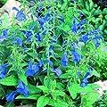 lichtnelke - Azursalbei (Salvia patens ' Patio Dark Blue ') Salbei von Lichtnelke Pflanzenversand - Du und dein Garten
