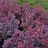 Grüner Garten Shop Blutberberitze Berberis thunbergii Atropurpurea Rote Heckenberberitze, 50-55 cm im 4 L Topf