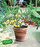 BALDUR-Garten DUO-Obst Apfelbaum 1 Pflanze Malus domestica Elstar und Golden Delicious
