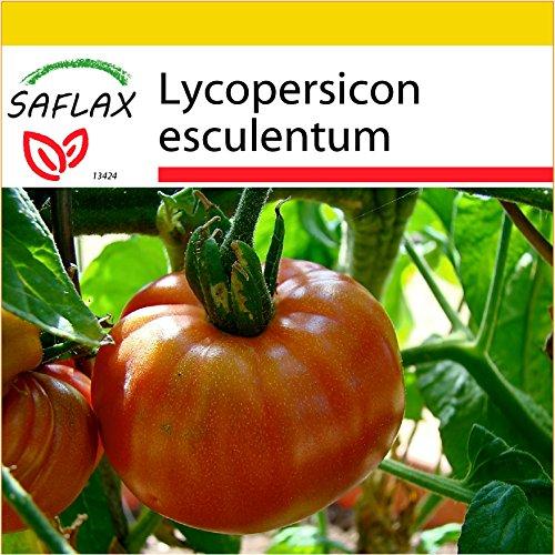 saflax-set-per-la-coltivazione-pomodoro-pink-brandywine-10-semi-lycopersicon-esculentum