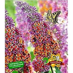"""BALDUR-Garten Buddleia Sommerflieder""""Flower Power"""" Schmetterlingsflieder Tricolor Schmetterlingsstrauch Zierstrauch, 1 Pflanze Buddleja Hybride"""