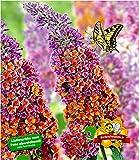 BALDUR-Garten Buddleia Sommerflieder
