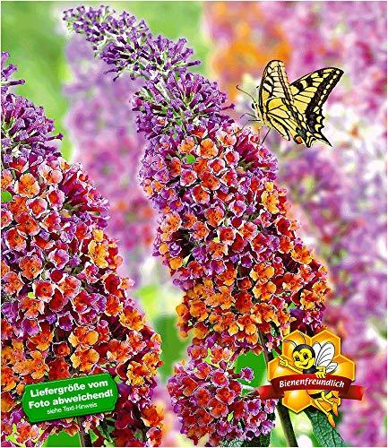 """BALDUR-Garten Buddleia Sommerflieder\""""Flower Power\"""" Schmetterlingsflieder Schmetterlingsstrauch Zierstrauch, 1 Pflanze Buddleja Hybride"""