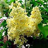100pcs / Weiß Japanische Flieder Samen Packung (Extremely Fragrant) Nelke Blumensamen für Haus & Garten 3