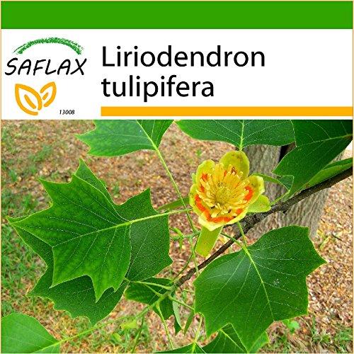 SAFLAX - Echter Tulpenbaum - 20 Samen - Mit Substrat - Liriodendron tulipifera