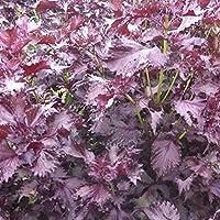 seekay Périlla Rouge - Shiso - Japon Basilique - environ 1000 graines