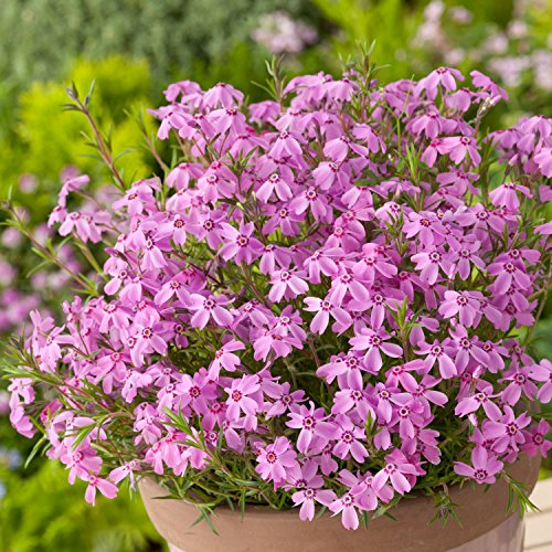 Pinke Staude Polsterphlox -phlox subulata- Bodendecker pinke Blüten immergrün winterhart mehrjährig pflegeleicht - Garten Schlüter - Pflanzen in Top Qualität