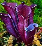 100 semi Heliamphora minori Semi carnivore piante Semi Bonsai piante Semi Per la casa Lithops 1# 32782654283ST