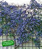 BALDUR-Garten Immergrüne Säckelblume Ceanothus 'Trewithen Blue' winterhart