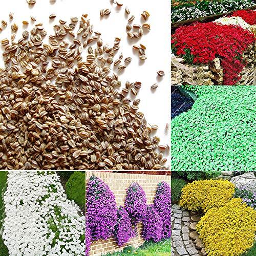 Xinzhi 100 Stücke Rock Kresse Samen Blumensamen Mehrjährige Creeping Thymian Samen Bodendecker Samen Outdoor Pflanzen - Grün