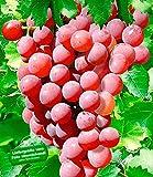 BALDUR-Garten Kernlose Tafel-Trauben 'Vanessa®' Weinreben rot
